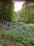 Charity Farm Bluebells