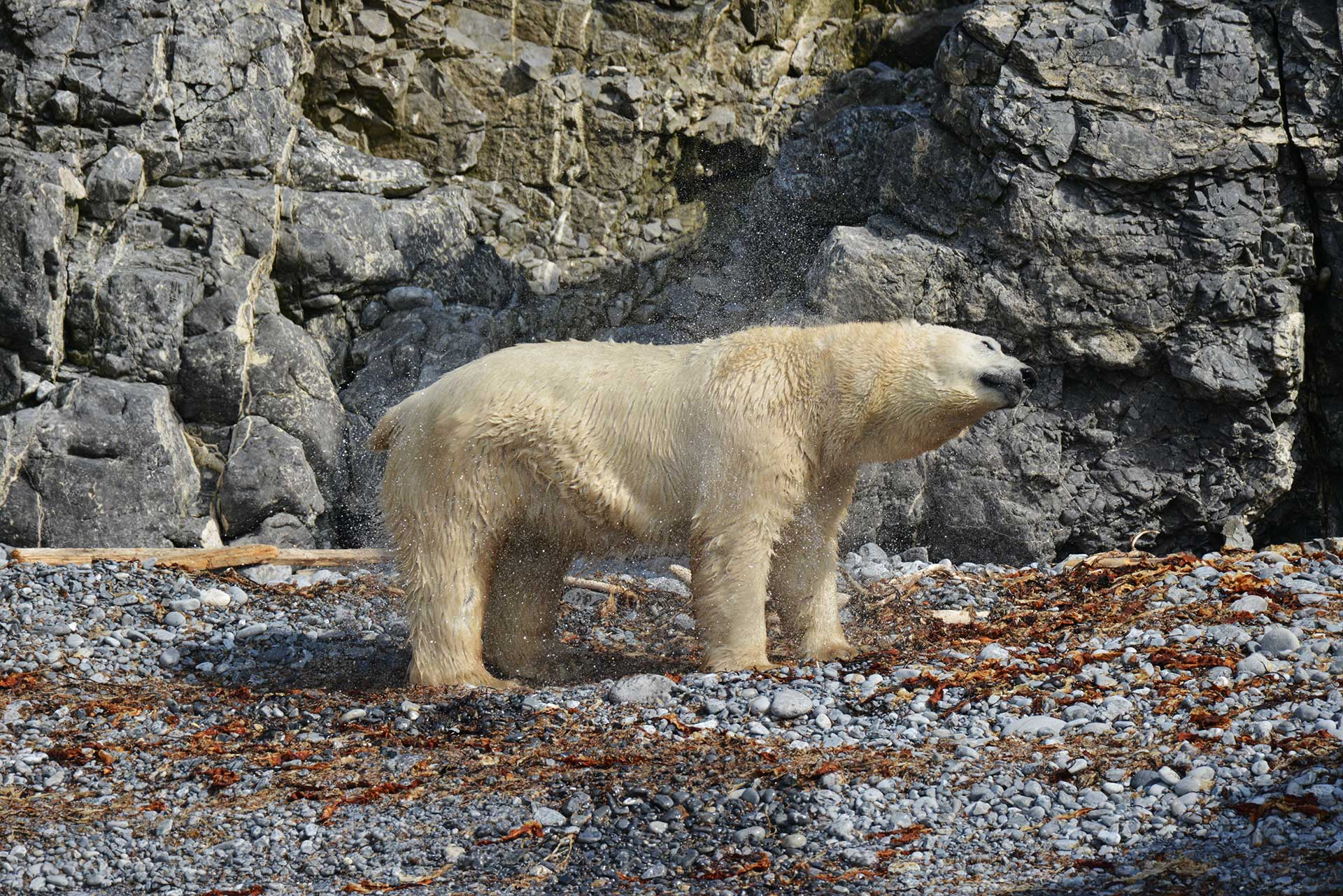 Белый медведь на острове Пуховый