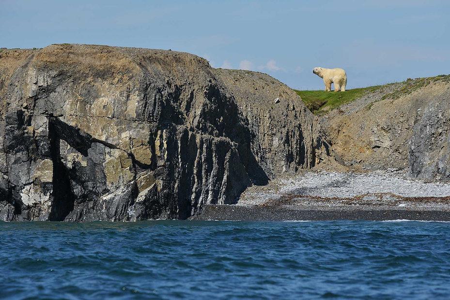 Белый медведь, остров Пуховый