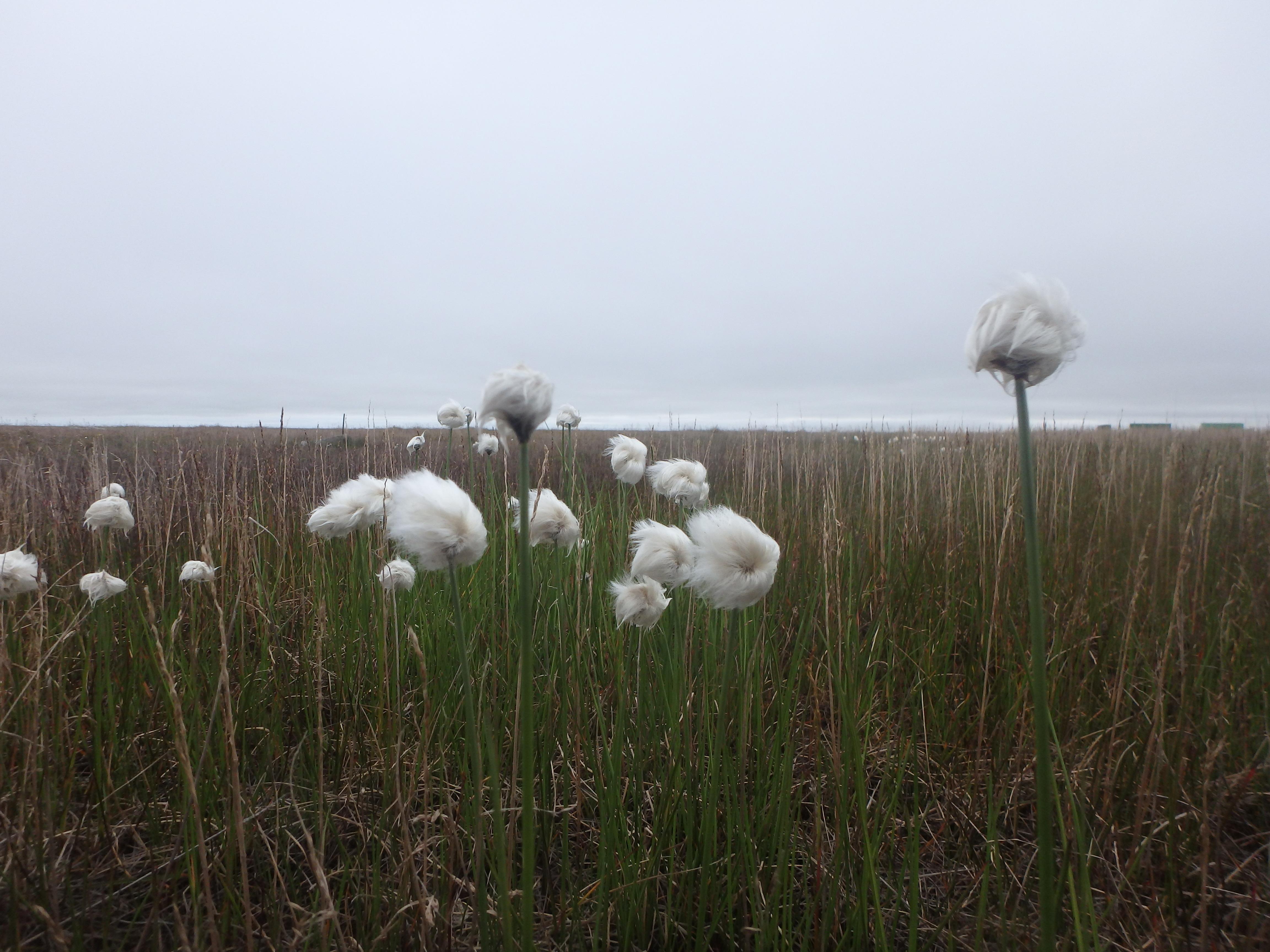 Цветы на острове Шокальского