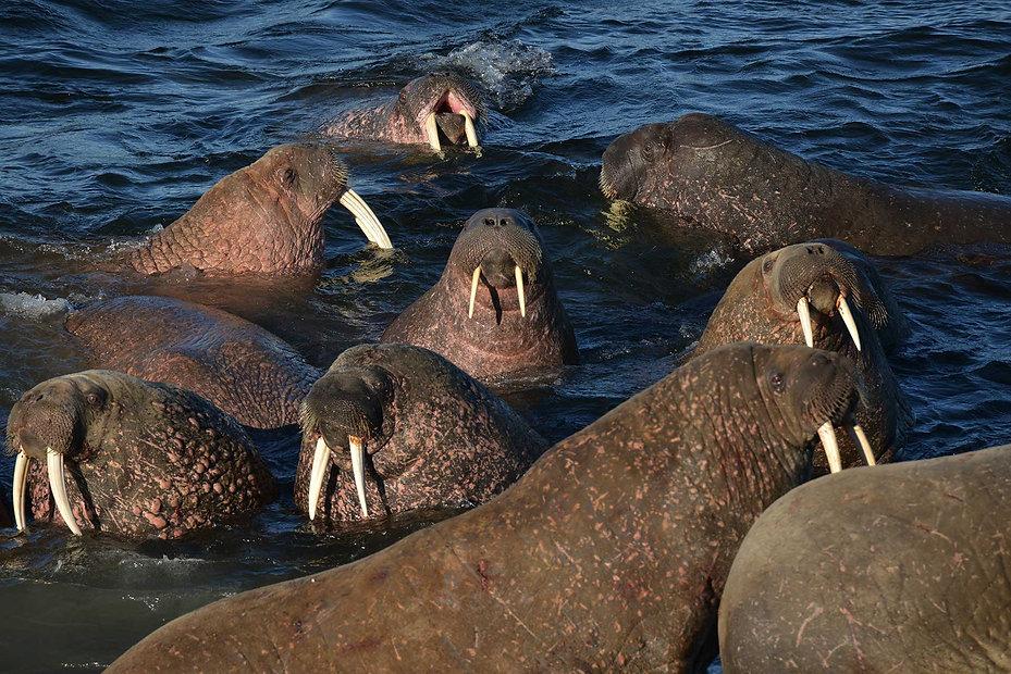Атлантический моржи