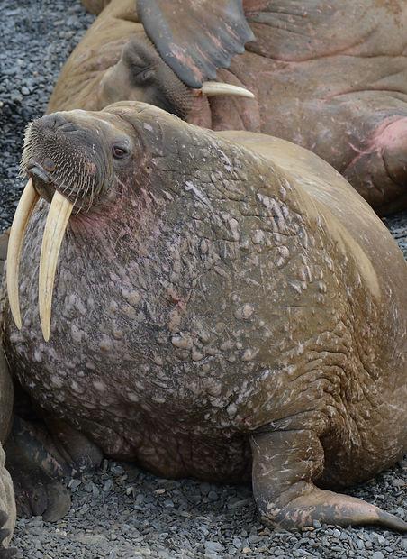 Что едят атлантические моржи