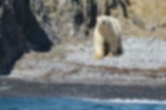 Polar Bear on Puhovy Island