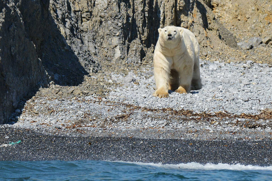 Polar Bear on Puhovy Island