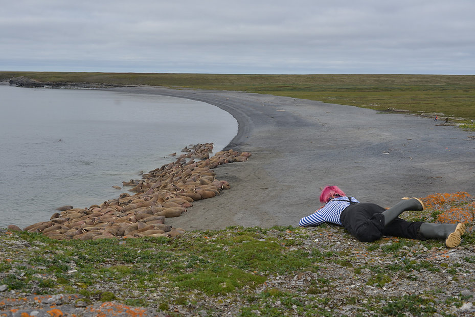 Researcher observes walrus haulout