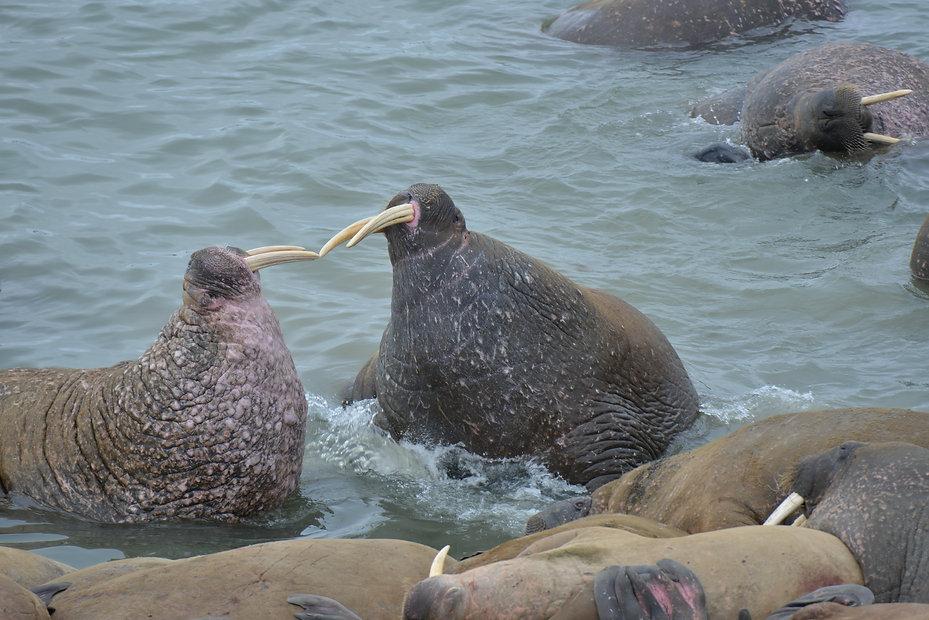 Атлантические моржи