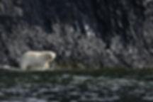 Плывущий белый медведь