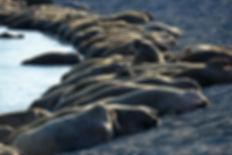 Atlantic walruses on Matveev Island