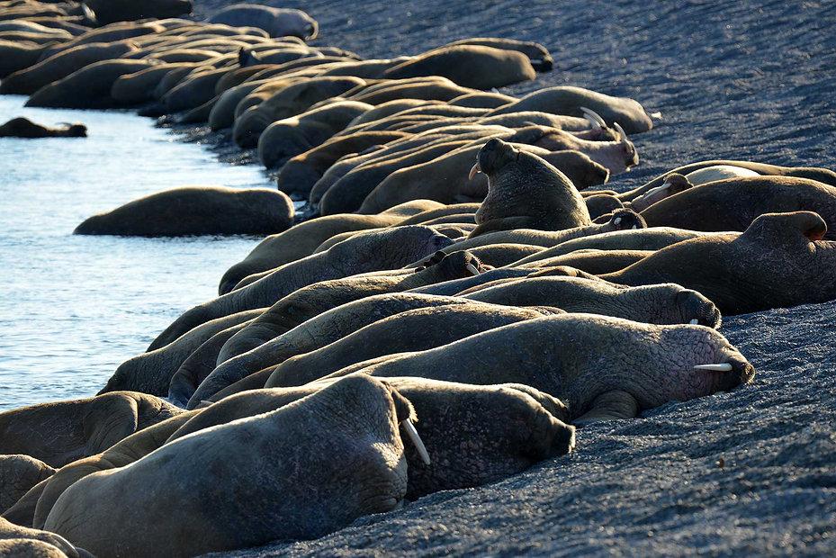Атлантические моржи на острове Матвеев