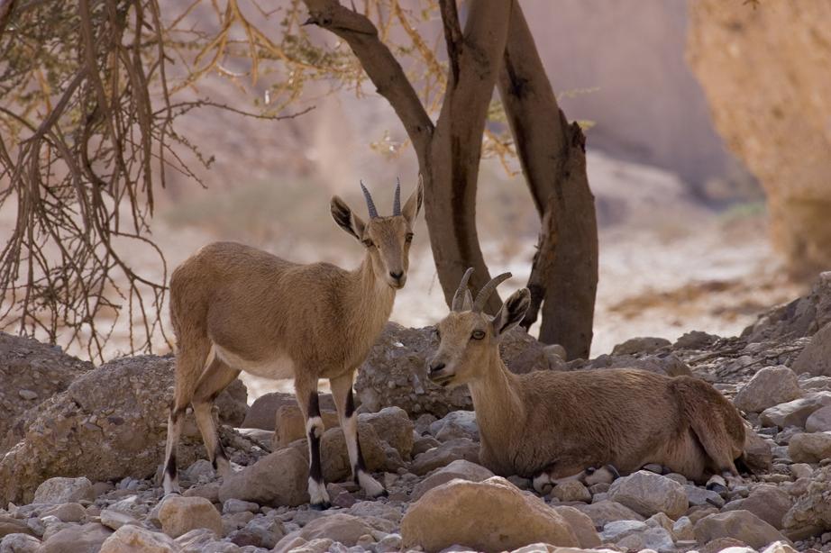 Ibex Family