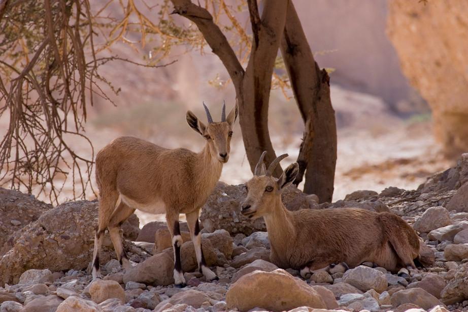 Familia Ibex