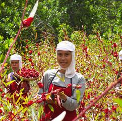 Rosella Harvest