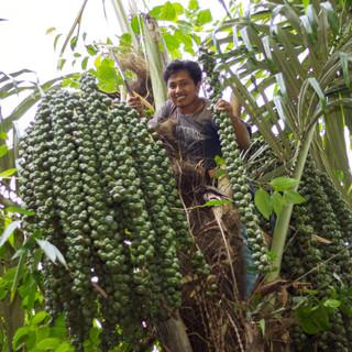 Arenga Fruits Farmer