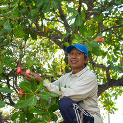 Cashew Farmer