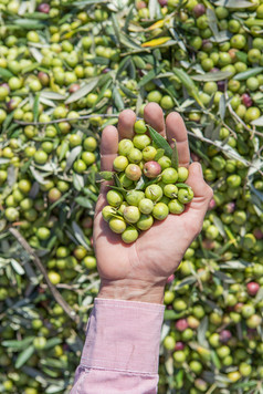 Arbequina olives