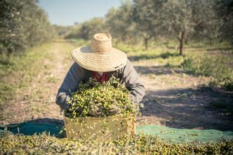 Harvesting olives at Son Naava