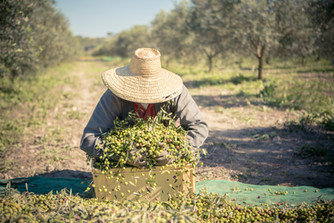 Harvesting olives at Son Naava