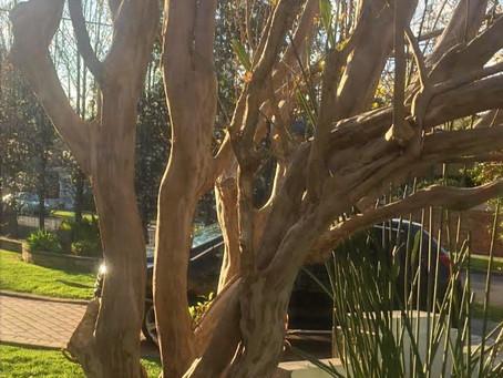 A Macro Cosmic Tree Bark Shedding from Genesis to Noah