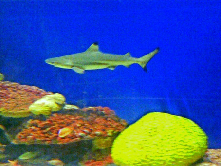 """To Be Fish or To Be Sharks (Apologies to Shakespeare's Hamlet """"To Be or Not To Be"""")"""
