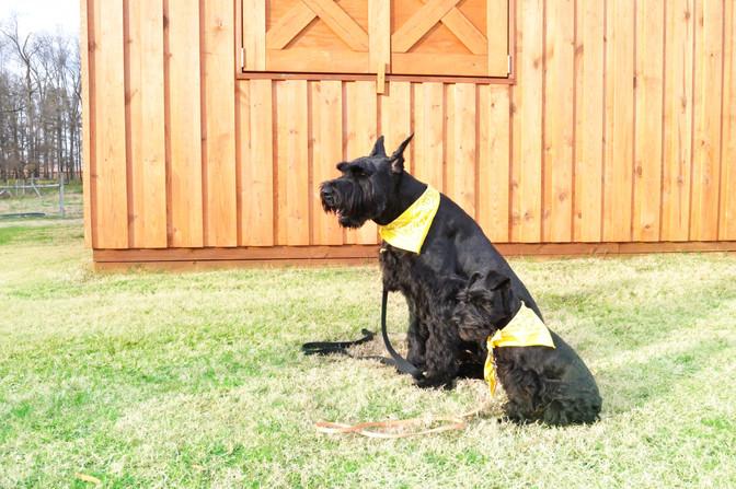 Kevin double dog Sit stay DSC_0169.jpg