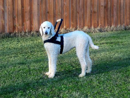 Jake-poodle-Web.jpg