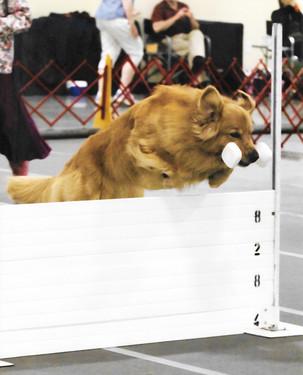 Kevin Mac Retrieve over Jump.jpg