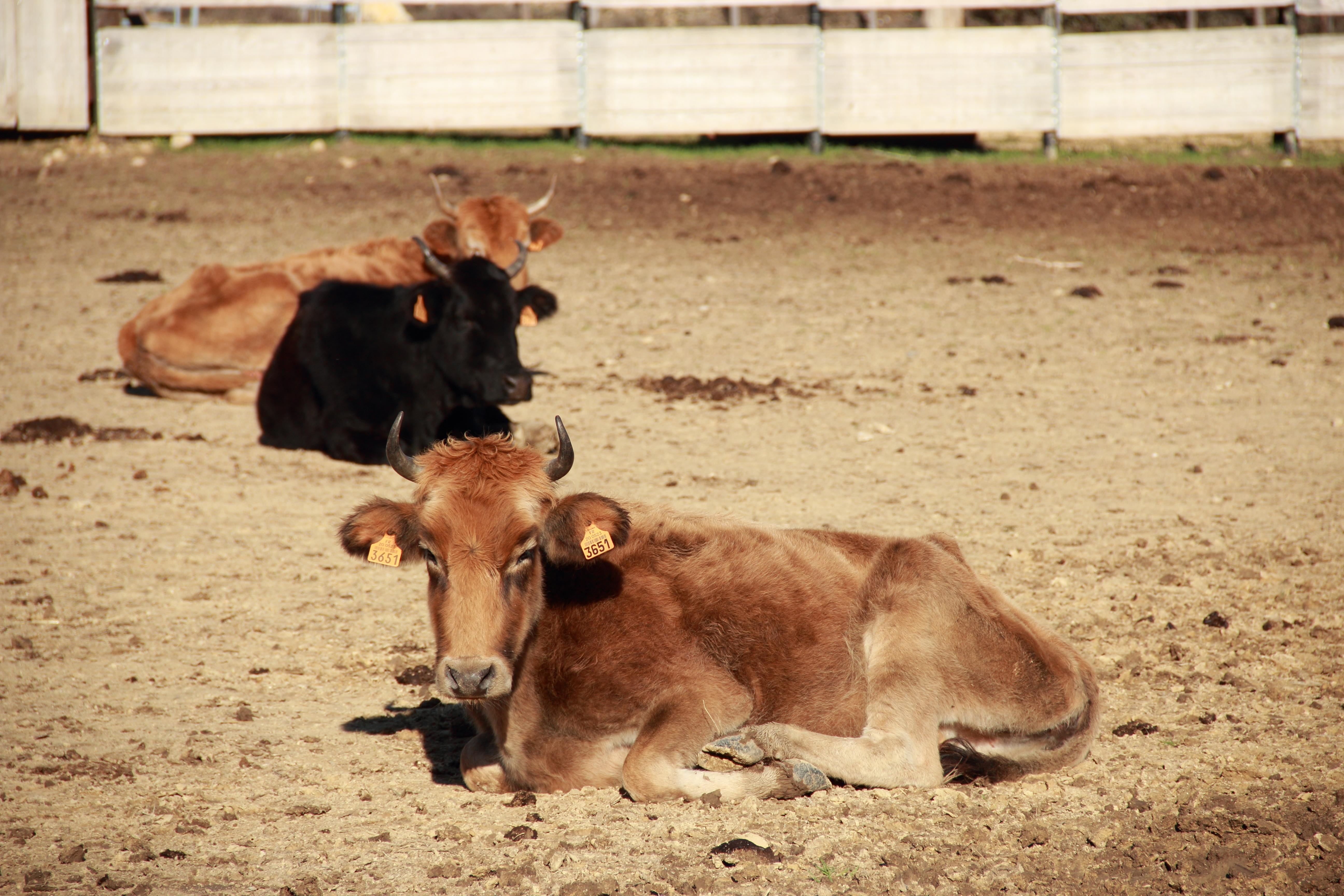 Nos vaches au calme