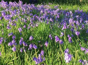Bluebells at The Roughetts