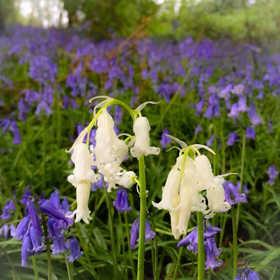 Rare White British Bluebell