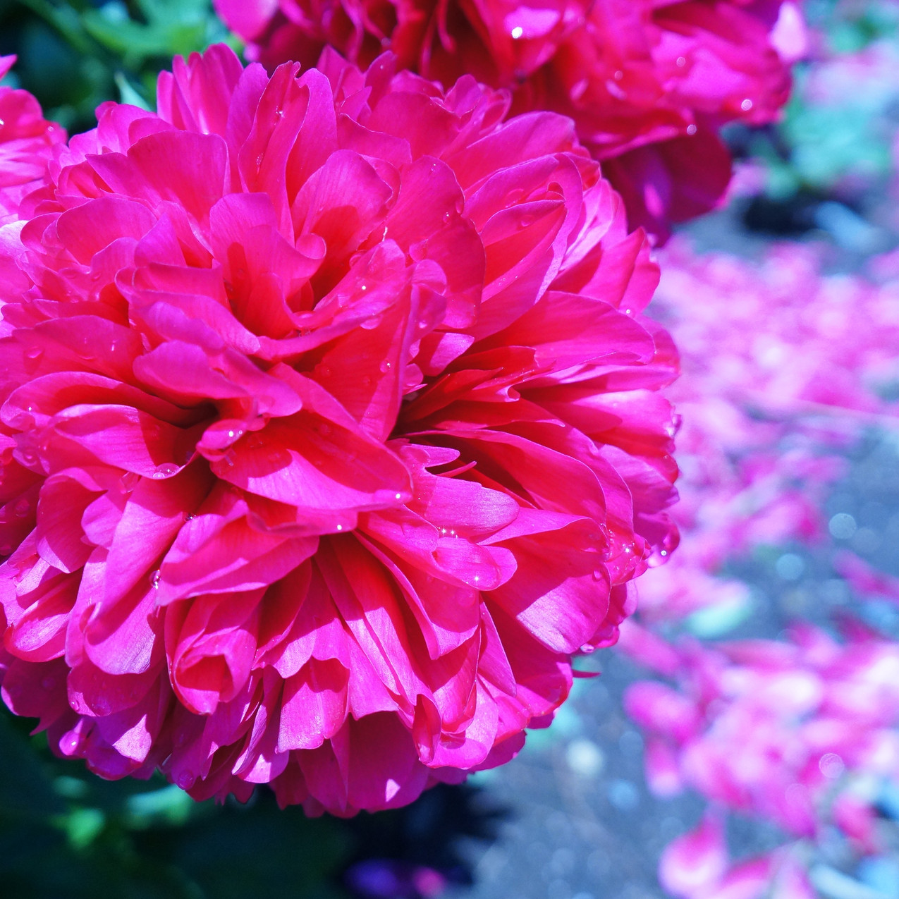 落ちた花びらも綺麗