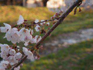 今年も行けました観音寺川の桜2019