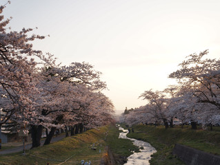 観音寺川の桜2018