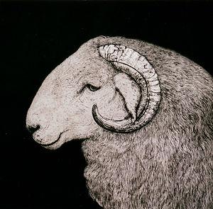 Welsh Ram