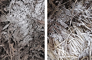 Fern Frost And Grass/Frost And Fern