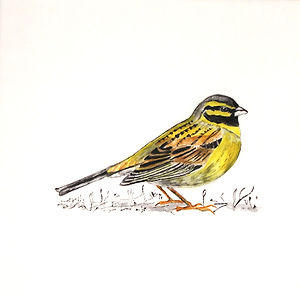 Tracing Coast and Contours - Cirl Bunting