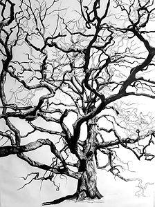 Lucombe Oak, Widey Woods