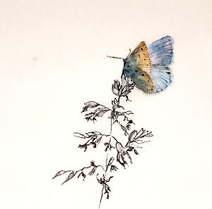 Tracing Coast and Contours - Common Blue Butterfly