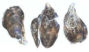 Mussels Trio