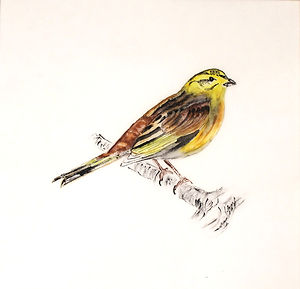 Tracing Coast and Contours - Yellowhammer