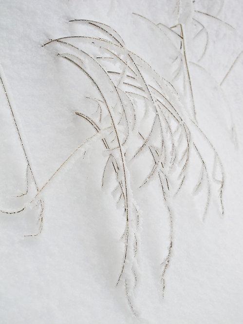 Snow Grass I