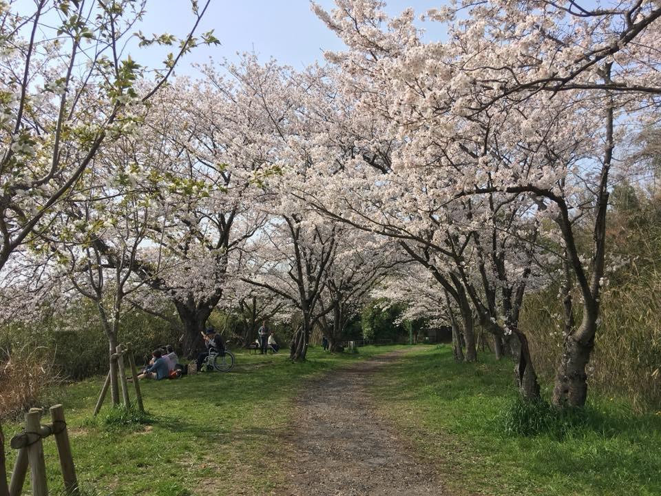 千里北公園の桜のトンネル