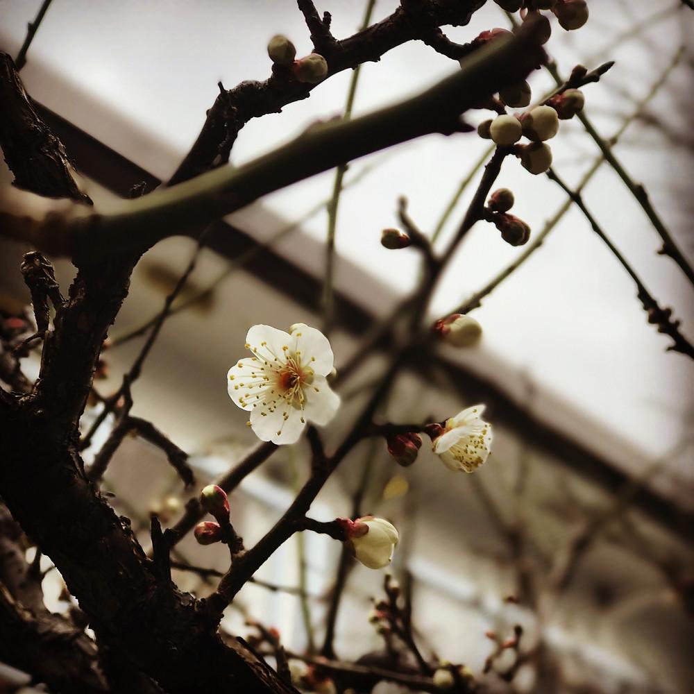 リンダ店長の梅の花