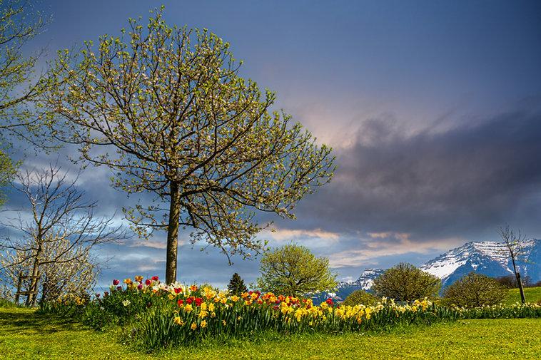 Baum-Tulpen.jpg