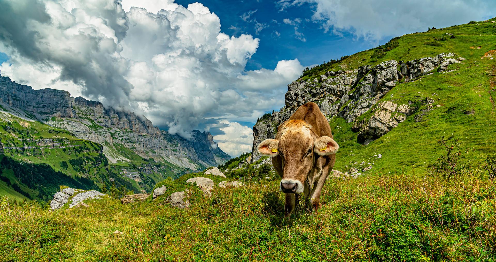 0167 busy cow Klausen _DSC8239.jpg
