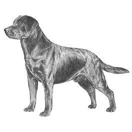 Labrador-Retriever-Illo-2-604w.jpg