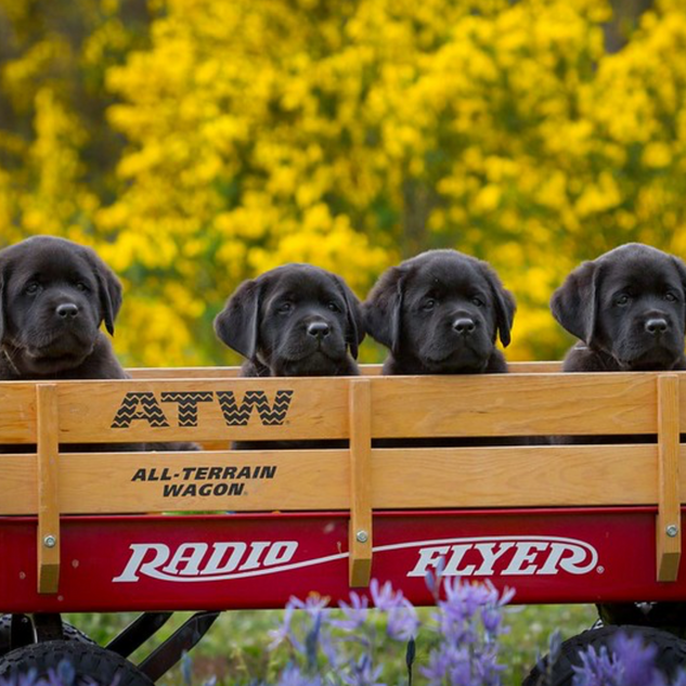pups in wagon.png