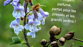 Mai : Paulownia tomentosa