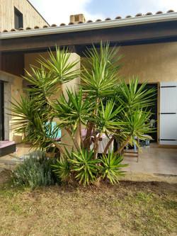 Yucca elephantipes APRÈS