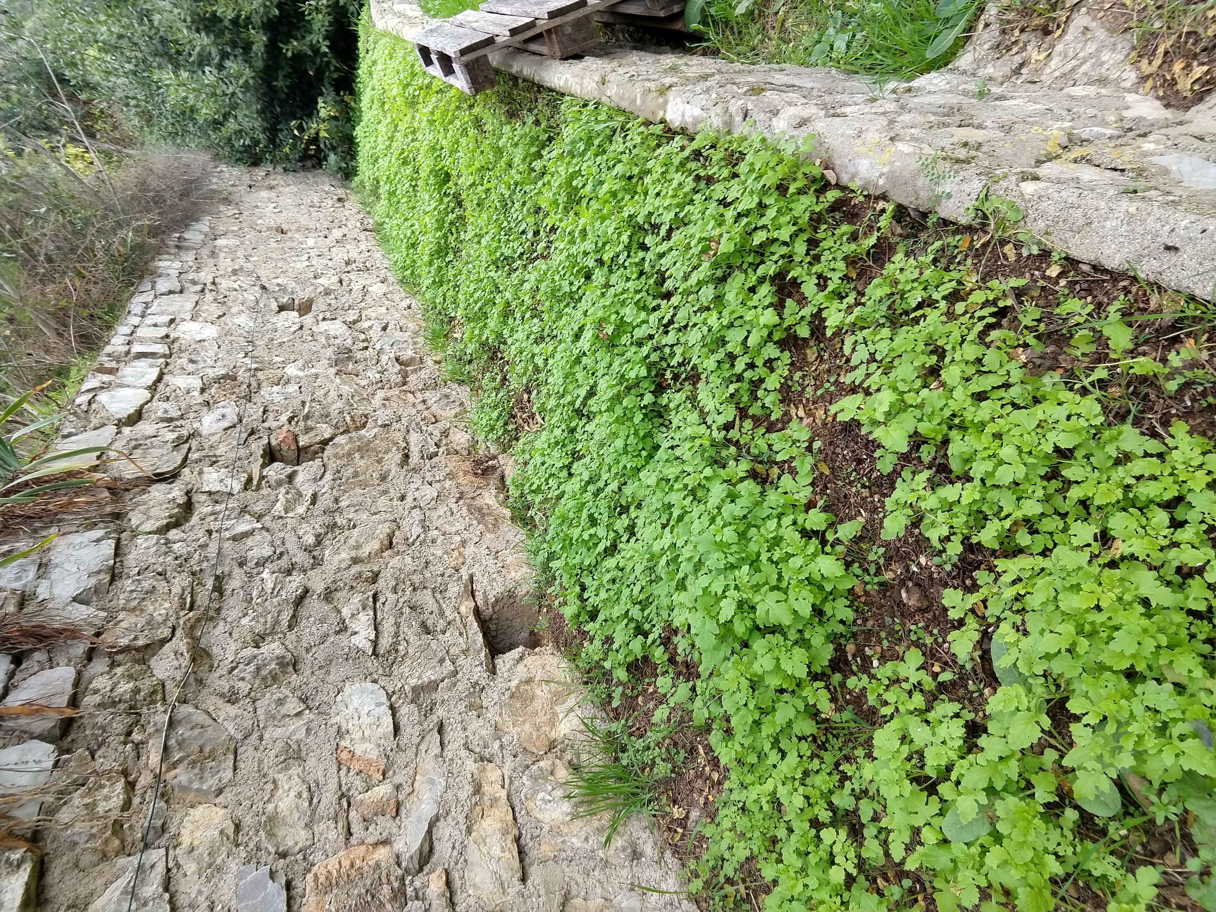 Terrasse suite : semis de Moutarde