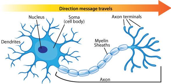 neuron and dendrite.jpg